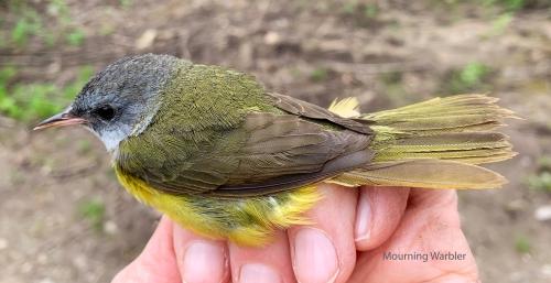 IMG_6158 mourning Warbler 3bo