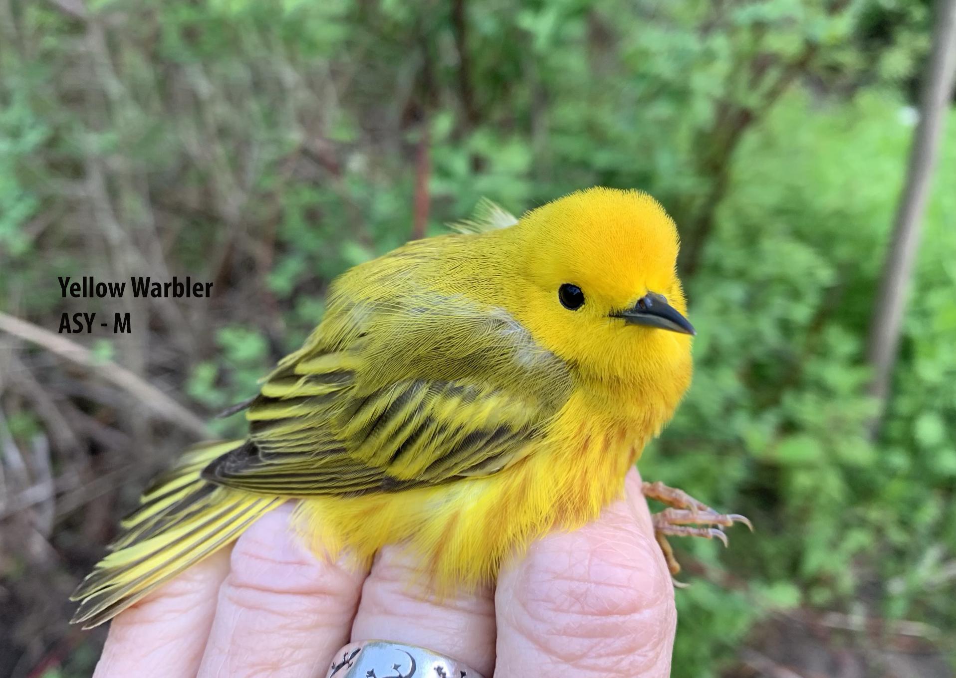 IMG_1885 Yellow Warbler ASY-M 3bo