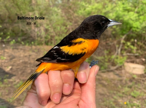 IMG_1923 Baltimore Oriole ASY-M 3bo