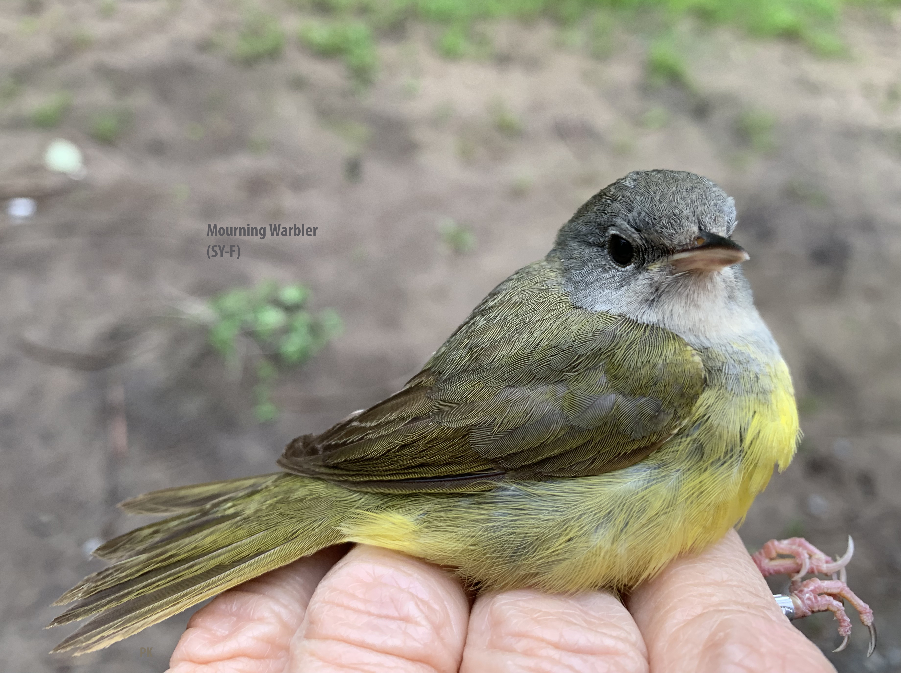 IMG_9227 Mourning Warbler-SY-F 3bo